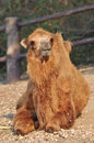 Bactrian camel camels have two humps rather than the single hump of their arabian relatives Stock Images
