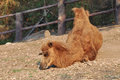Bactrian camel camels have two humps rather than the single hump of their arabian relatives Royalty Free Stock Photography