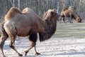 Bactrian camel camelus bactrian actrian bactrianus is a large even toed ungulate native to the steppes of central asia of the two Stock Photo