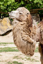 Bactrian camel shaggy camelus bactrianus Stock Images