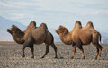Bactrian camel in the steppes of Mongolia Stock Photography