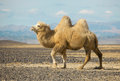 Bactrian camel in the steppes of Mongolia Royalty Free Stock Photos