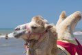 Bactrian camel walks on the beach with blue sky. Royalty Free Stock Photo