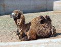 Bactrian two-hump camel in the zoo Royalty Free Stock Photo
