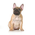 Bad dog french bulldog puppy with ashamed expression looking up isolated on white background Royalty Free Stock Image