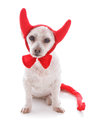 Bad dog halloween devil costume a white pet wearing red velvet horns tail and bow tie concept or party white background Royalty Free Stock Images