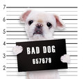 Bad dog. Royalty Free Stock Photo