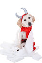 Bad dog labrador retriever puppy in devil costume with toilet paper on white background Stock Photos