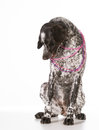 Bad dog naughty german shorthaired pointer chewing on beads isolated on white background Royalty Free Stock Photo