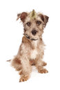 Bad dog with spiked collar and mohawk a cute scruffy terrier mixed breed against a white background a green wearing a skull Royalty Free Stock Image