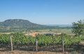 Badacsony lake balaton hungary vineyard of with in background Stock Photo