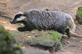 Badger the adult strolling in the forest Royalty Free Stock Photo