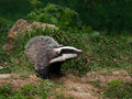 Badger Cub watching Royalty Free Stock Photo