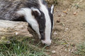 Badger meles meles out in the daytime Stock Photos