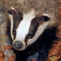 Badger in the middle of the forest autumn Royalty Free Stock Photos