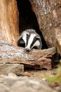 Badger near its burrow in the forest Royalty Free Stock Photo