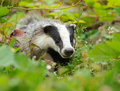 Badger near its burrow in the forest Stock Photography