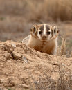 Badger peeking out of burrow an american its in colorado Stock Image