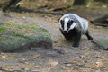Badger the strolling in the soil Stock Images