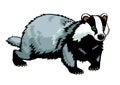 Badger on white