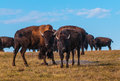 Badlands bison looking towards the camera american buffalo migration national park south dakota Stock Photo