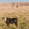 Badlands Calf Royalty Free Stock Photography