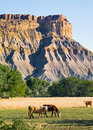 Badlands cattle graze in the shale of caineville mesa near capitol reef national park Stock Photo