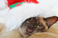Bah humbug grumpy cat wearing santa claus hat a cute christmas portrait of a purebred burmese breed with a very cranky expression Royalty Free Stock Photos