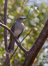 Bahama mockingbird close up a portrait of the mimus gundlachii in the island of cuba Stock Photos