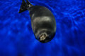 Baikal freshwater seal Royalty Free Stock Photo