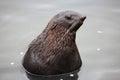 Baikal seal, Royalty Free Stock Photo