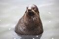 Baikal seal Royalty Free Stock Photo