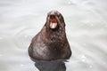 The Baikal seal Royalty Free Stock Photo