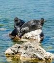 Baikal seals Royalty Free Stock Photo