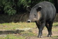 Baird's tapir Royalty Free Stock Photo