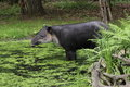 Baird s tapir tapirus bairdii standing in pond Stock Photos