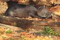 Baird tapir the lying adult Stock Photos