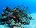 Bajío de anthias sobre coral bommie red sea Fotos de archivo libres de regalías