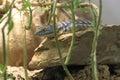 Baja blue rock lizard on the Stock Image