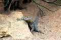 Baja Blue Rock Lizard Royalty Free Stock Photo