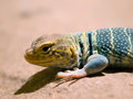 Baja california rock lizard blue petrosaurus thalassinus Royalty Free Stock Images