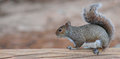 Balanced Squirrel Royalty Free Stock Photo