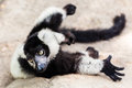 Balck and white lemur on rock lay the looking Royalty Free Stock Image