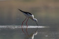 Balck winged stilt black is wading in the water Stock Image
