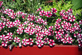 Balcony flowers petunia Royalty Free Stock Photo