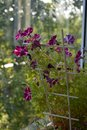 Balcony greening. Charming flowers of petunia on blurred background