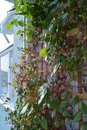 Balcony greening by climbing plants. Cobaea and thunbergia on wooden trellis