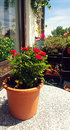 Balcony table with rose plant in pot Royalty Free Stock Photo