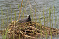 Bald coot breeding Stock Image