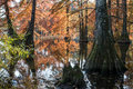 Bald cypress in automn french countryside lake with reflections Royalty Free Stock Photo